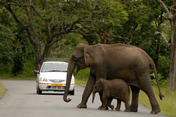 An elephant mother uses her body to shield her calf from an approaching vehicle as they cross the road. Photo: Kalyan Varma