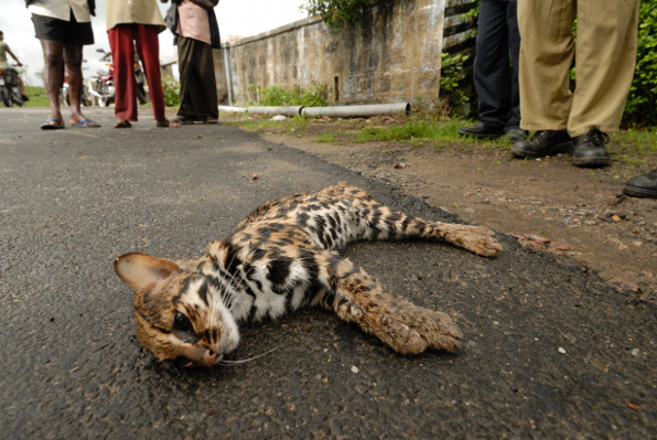 Even quick-footed species, such as this leopard cat, get killed with the increasingly faster traffic. Photo: Kalyan Varma