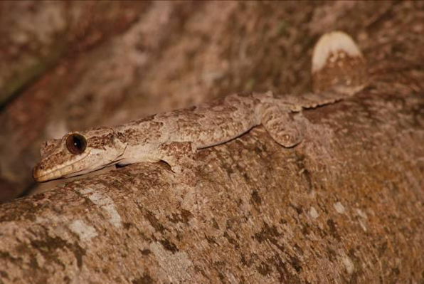 Gliding gecko hunting at night; note her flat tail.