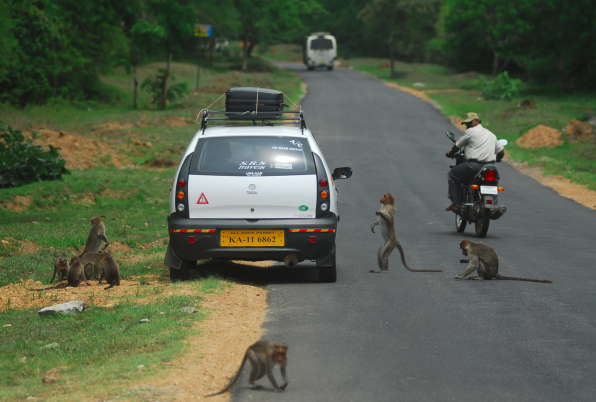 (Bandipur Tiger Reserve) Feeding wildlife encourages animals to come to the road, causing accidents and wildlife roadkills. (Credit: M D Madhusudan)