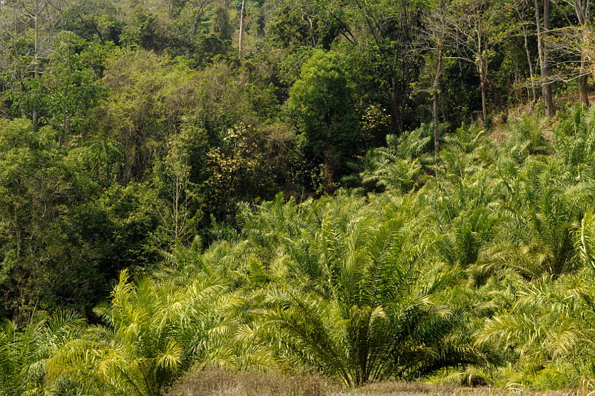 Forest_OilPalm_MizoLow