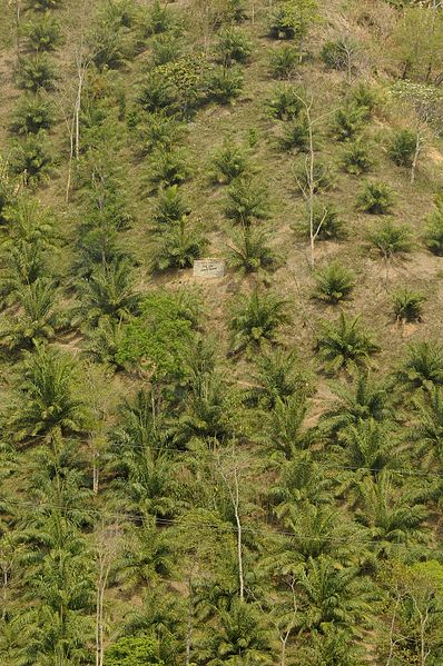 An oil palm plantation on a steep slope adjoining Dampa Tiger Reserve, Mizoram (Photo via Wikimedia Commons).