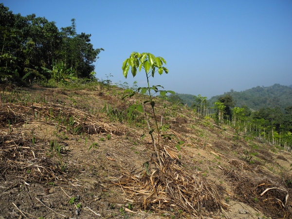Forest cleared for establishment of monoculture rubber plantation in buffer zone of Dampa Tiger Reserve, Mizoram.