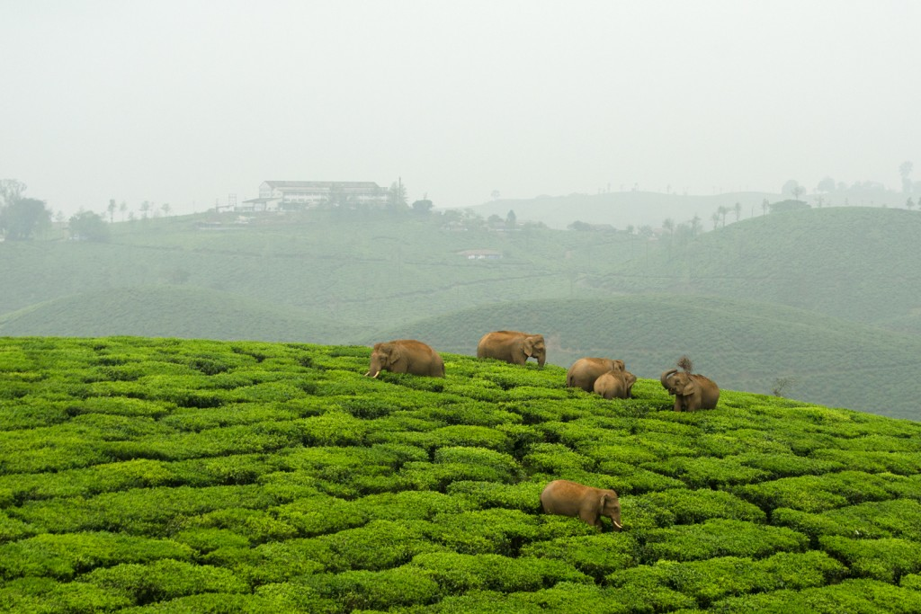 Valparai_Elephants_Tea_Ganesh