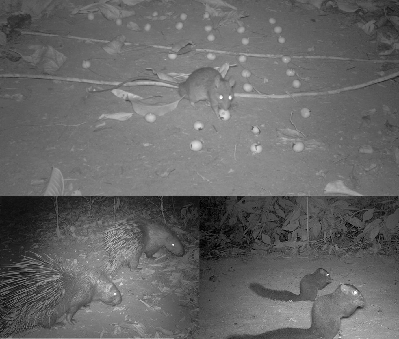 rodents seeds_camera trap