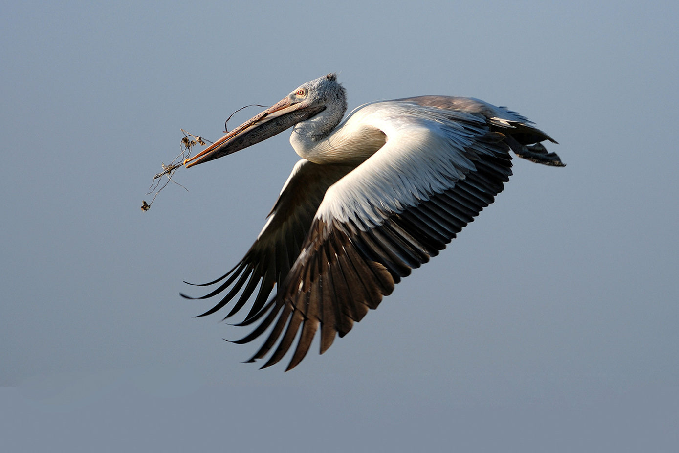 A Spot-billed Pelican gathers small twigs to use for building its nest. Every year hundreds of these endangered species migrate from northern parts of the country to nest in a few wetlands in south India