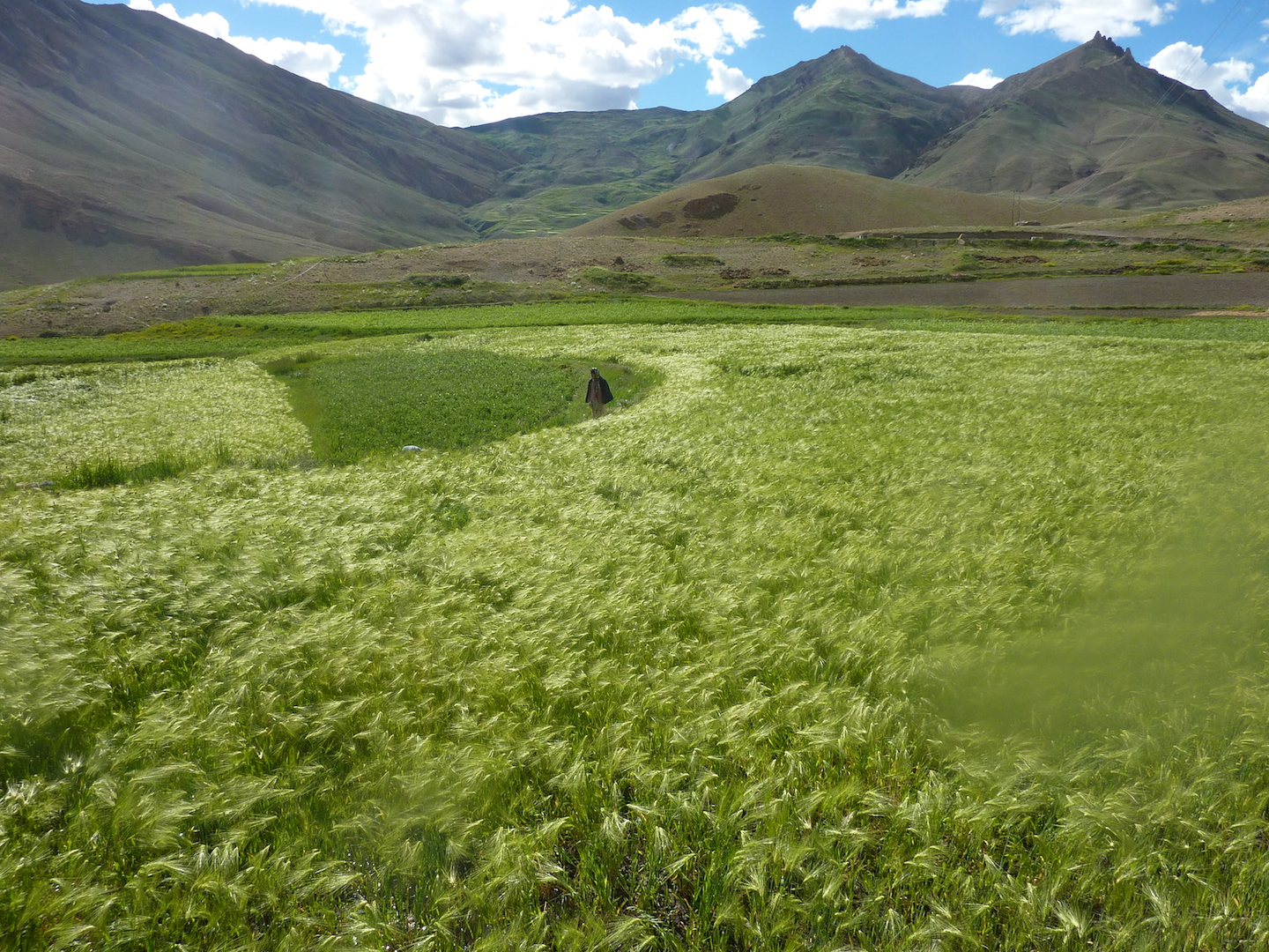 The barley fields in the beautiful village of Kibber in Spiti valley.