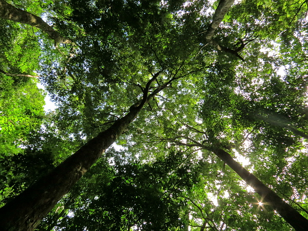 Canopy of mature rainforest in the core area of Dampa Tiger Reserve, Mizoram. (Photo: Zakhuma)