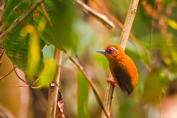 White-browed piculet Sasia ochracea is frequently encountered in bamboo forests (Photo: Ramki Sreenivasan)