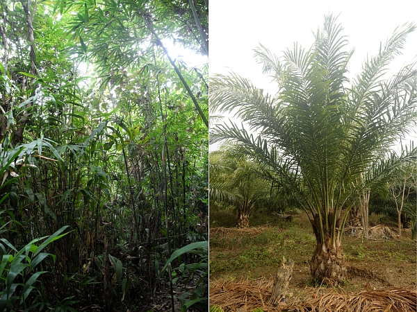Dense vegetation characterises the interior of secondary forests recovering after jhum (left) unlike the open vegetation of oil palm (right). (Photo: T. R. Shankar Raman, CC-by-SA 4.0).