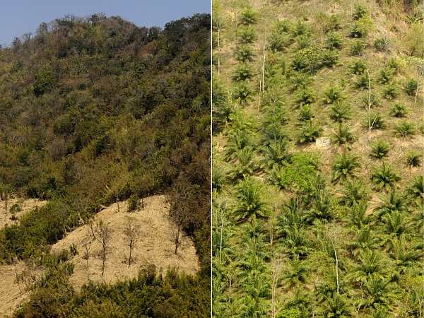 The jhum habitat mosaic of fields, fallows, and forests (left) supports more tropical forest birds than monocultures such as oil palm (right). (Photo: T. R. Shankar Raman, CC-by-SA 4.0).