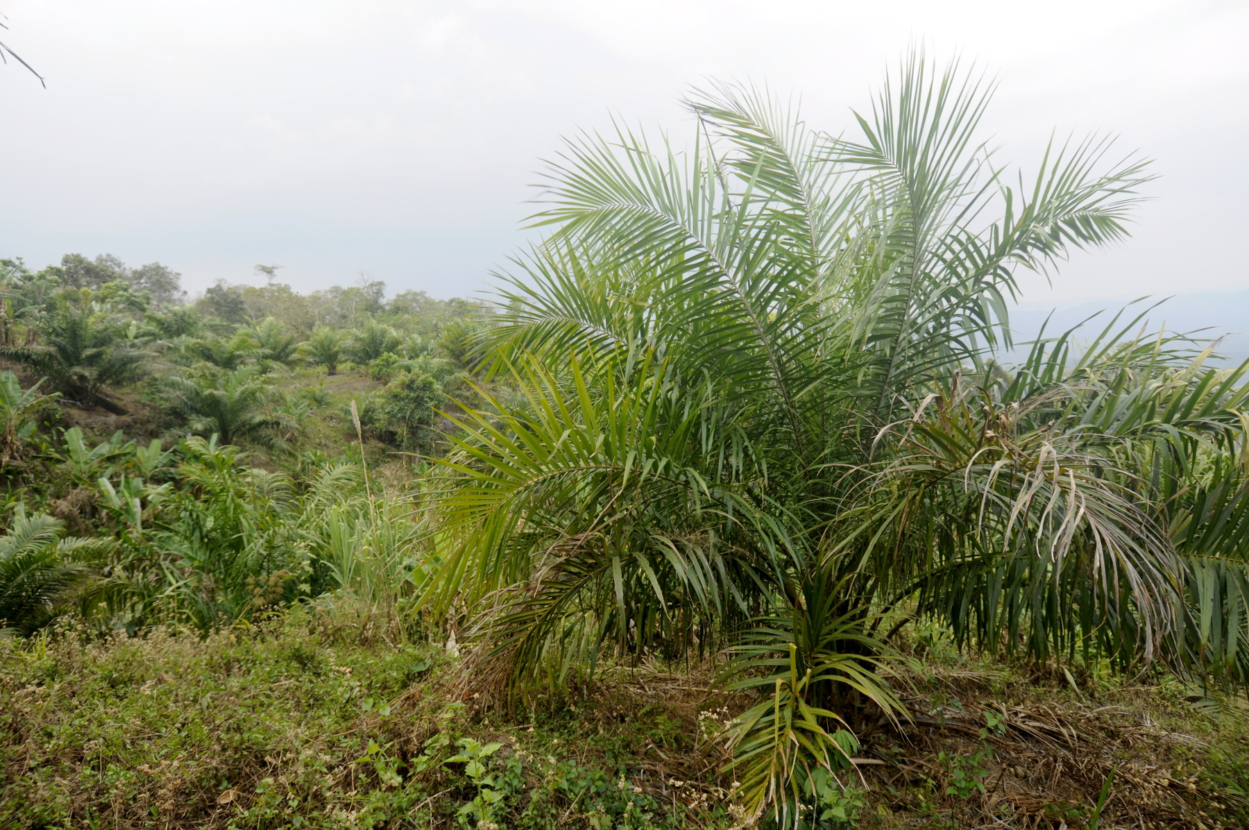 Oil palm expansion in forest and traditional agricultural lands, Mizoram