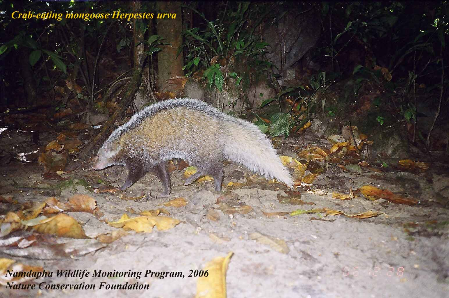 crab-eating mongoose NCF