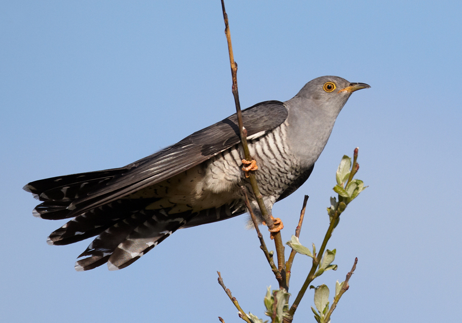 Common Cuckoo. Photo: Wikipedia