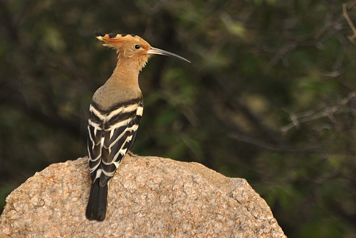 Eurasian Hoopoe. Photo: Radha Rangarajan