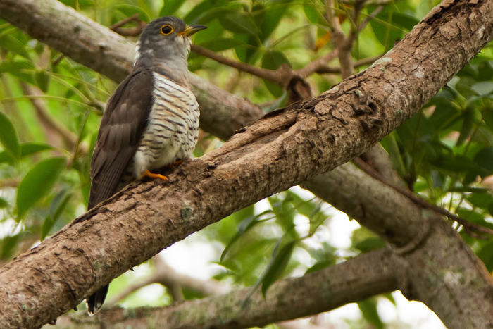 Indian Cuckoo. Photo. Muthu Narayanan
