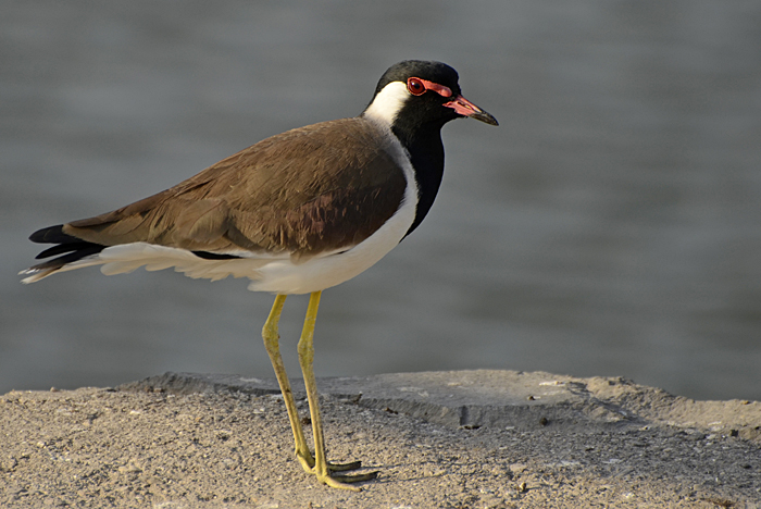 Red-wattled Lapwing. Photo: P. Jeganathan