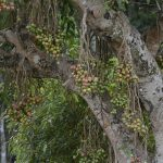 ficus_tree_with_fruits_jeg6155