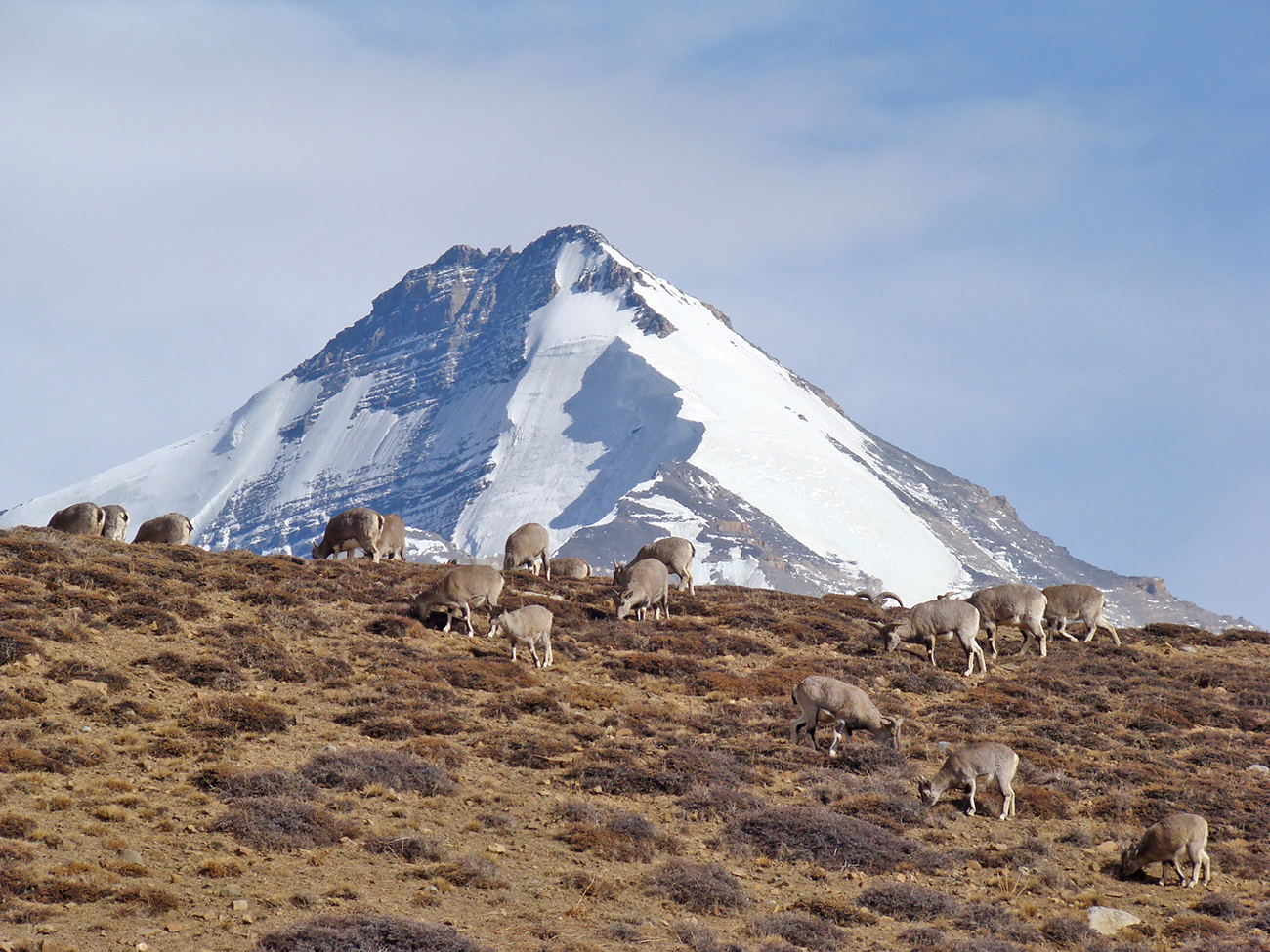 kullu-blue-sheep-bharal-mountain-1