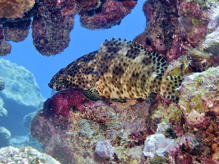 foursaddle-grouper-edited