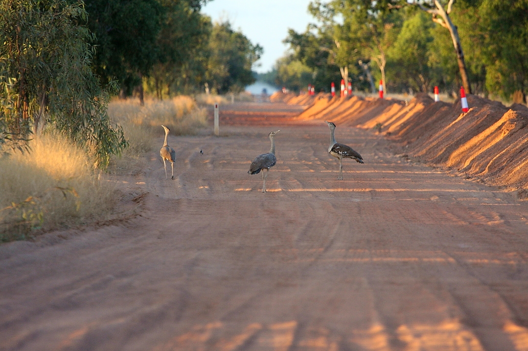 wildroads_threeaustralianbustards_mirandadowns