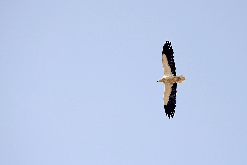 Egyptian vulture. Photo: By PJeganathan [CC BY-SA 4.0 (https://creativecommons.org/licenses/by-sa/4.0)], via Wikimedia Commons