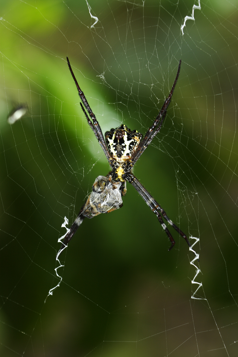 17-cross-spider-with-stablimentum-on-its-orb-web