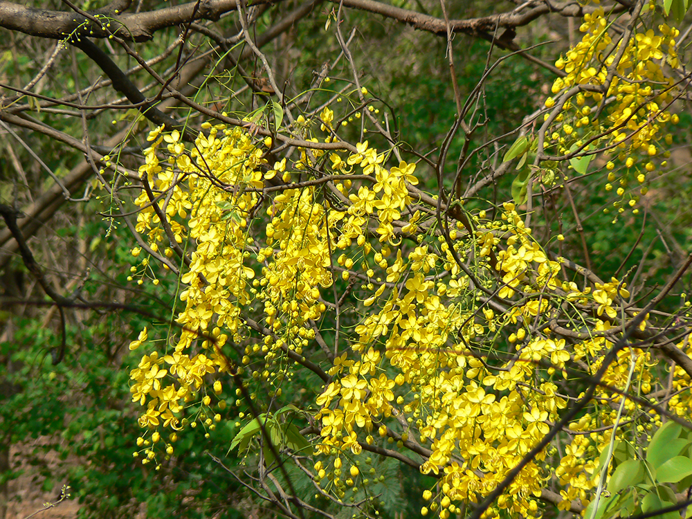 indian_laburnum_-dinesh-valke