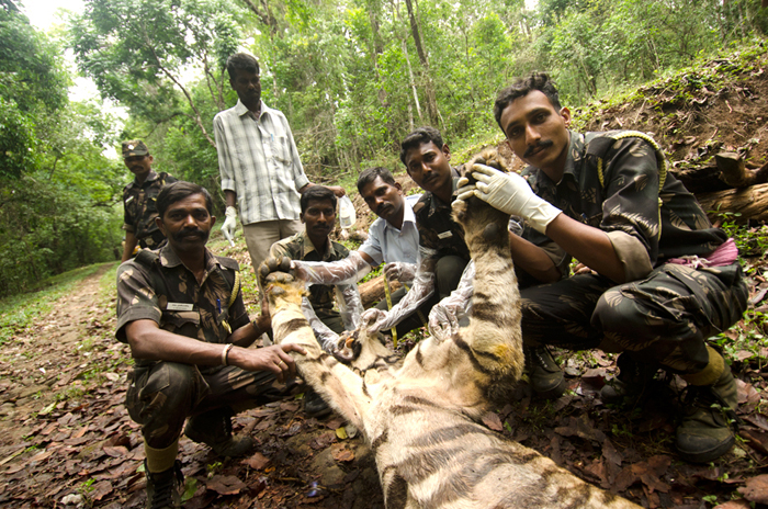 Memorable moment for Anti-poaching watchers especially for Murali (with gloves) and Bhuto (sitting in white shirt). Photo: Ganesh Raghunathan
