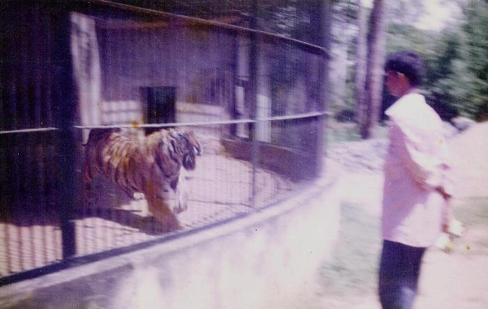 Tiger from Valparai at Vandalur Zoo in 1997.